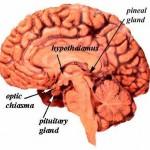 pituitary_brain2a